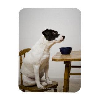Persiga sentarse en una silla delante de un cuenco rectangle magnet
