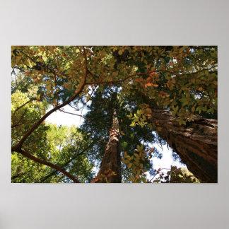 """""""Perspectiva del otoño"""", maderas de Muir Poster"""