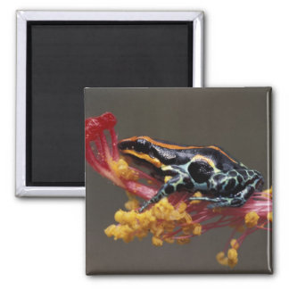 Peru, Peruvian Rain Forest. Poison Arrow Frog 2 Inch Square Magnet