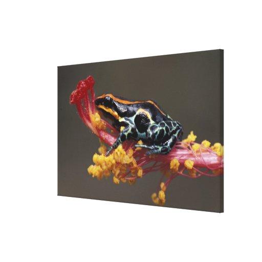 Peru, Peruvian Rain Forest. Poison Arrow Frog Canvas Print