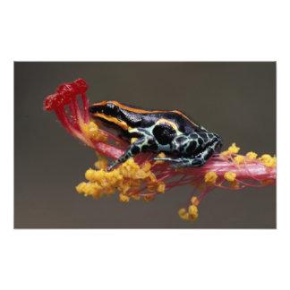 Peru, Peruvian Rain Forest. Poison Arrow Frog Photo Print