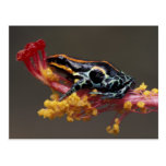 Peru, Peruvian Rain Forest. Poison Arrow Frog Post Cards