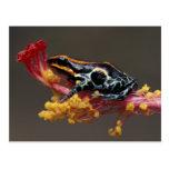 Peru, Peruvian Rain Forest. Poison Arrow Frog Postcard