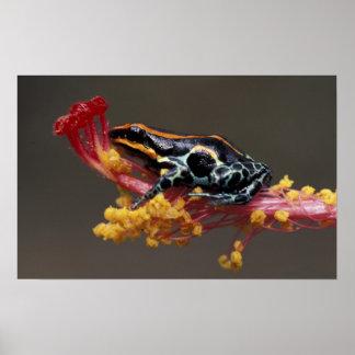 Peru, Peruvian Rain Forest. Poison Arrow Frog Poster