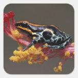 Peru, Peruvian Rain Forest. Poison Arrow Frog Square Sticker