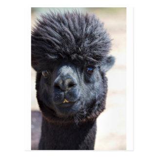 Peruvian Alpaca With Crazy Hair Postcards