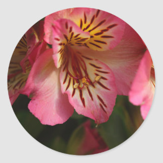 Peruvian lily (Alstroemeria aurea) Classic Round Sticker