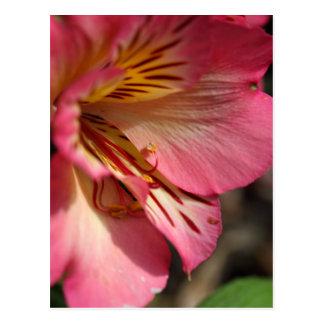 Peruvian lily (Alstroemeria aurea) Postcard