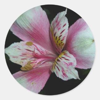 Peruvian Lily. Classic Round Sticker