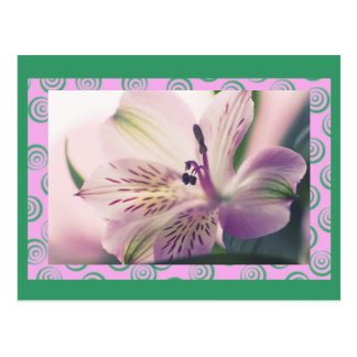 Peruvian Lily, Magenta, macro floral, template Postcard