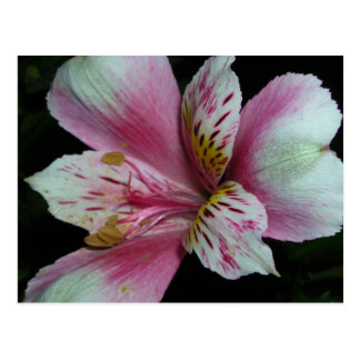 Peruvian Lily. Postcard