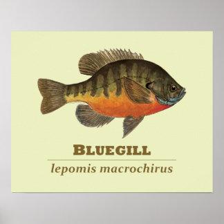 Pesca de la brema del Lepomis macrochirus Posters