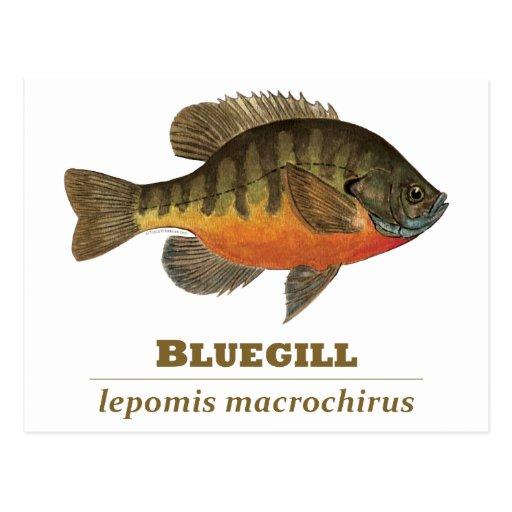 Pesca de la brema del Lepomis macrochirus Postales