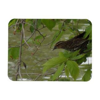 pesca negra de alas rojas del pájaro de una rama iman