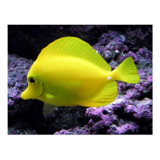 Pescados amarillos del filón de Tang Postales