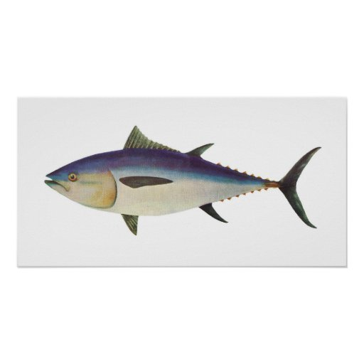 Pescados - atún de Bluefin meridional - maccoyii d Póster