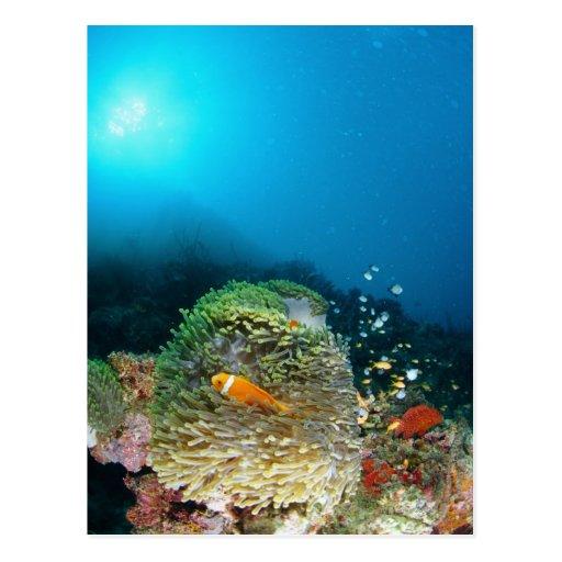 Pescados de anémona de Maldivas que nadan bajo el  Tarjeta Postal