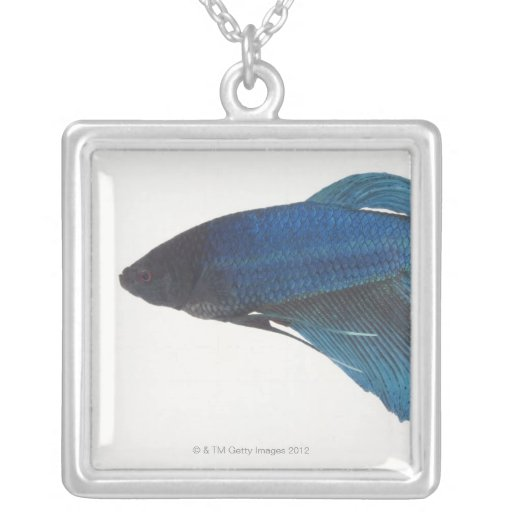 Pescados de Betta o pescados que luchan siameses Colgante Cuadrado