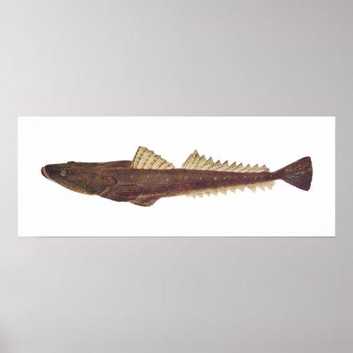 Pescados - de cabeza llana oscuro - fuscus del Pla Póster