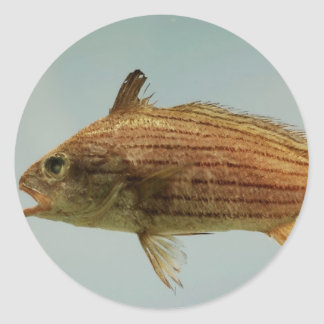 Pescados de Cubbyu Pegatina Redonda