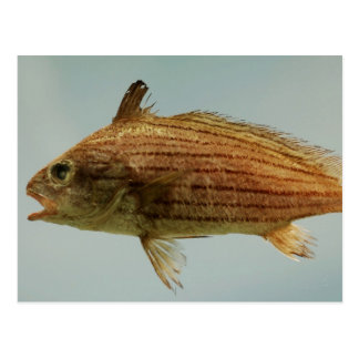 Pescados de Cubbyu Tarjetas Postales