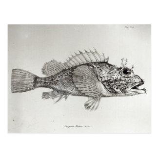 Pescados de escorpión tarjeta postal