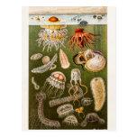 Pescados de jalea de la antigüedad del ejemplo de  tarjetas postales