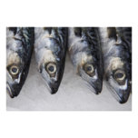 Pescados de la caballa, captura fresca del día póster