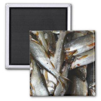 Pescados de los piscardos del lucio europeo imanes de nevera