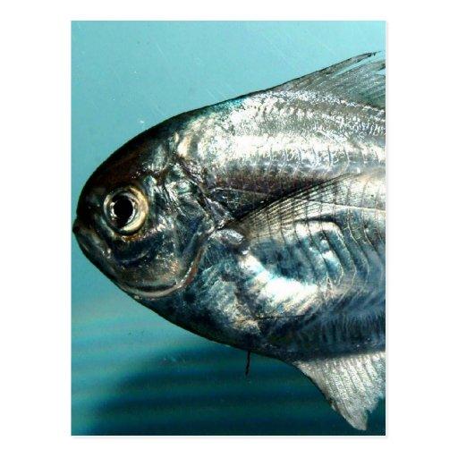 Pescados de Peprilus Postales