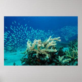 Pescados del mar de coral impresiones