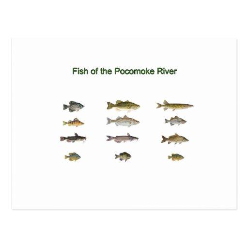 Pescados del río de Pocomoke Postales
