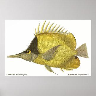 Pescados del vintage, Chelmon tropical amarillo Póster