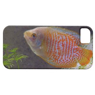 Pescados enanos del Osphromemus gorami iPhone 5 Case-Mate Cárcasas