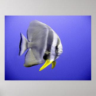 Pescados exóticos tropicales del Batfish subacuáti
