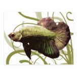 Pescados que luchan siameses de Betta del oro Tarjeta Postal