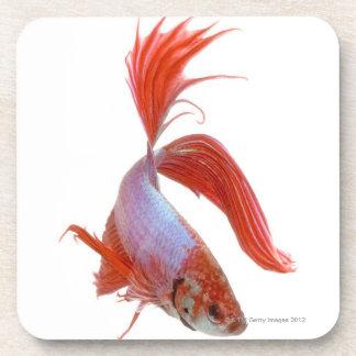 Pescados que luchan siameses (splendens de Betta) Posavasos