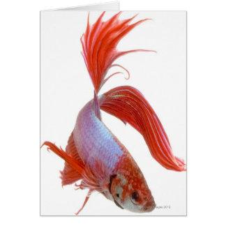 Pescados que luchan siameses (splendens de Betta) Felicitación