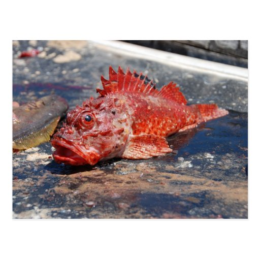 Pescados rojos postal