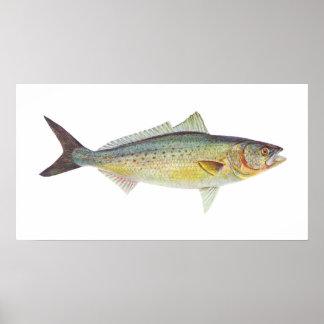 Pescados - salmones australianos - trutta de Arrip Poster