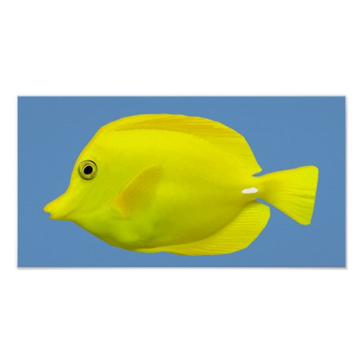 Pescados tropicales amarillos de Tang Poster