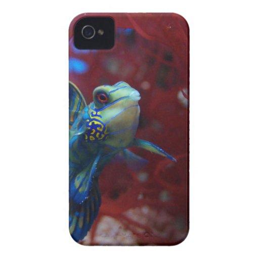 Pescados tropicales azules Case-Mate iPhone 4 cárcasa