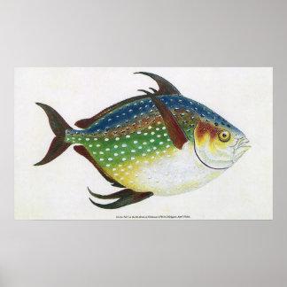 Pescados tropicales de Opah del vintage, animal Póster
