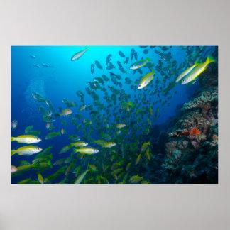 Pescados tropicales del mar de coral poster