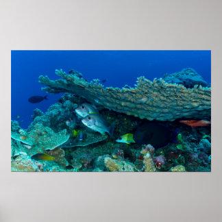 Pescados tropicales del mar de coral posters