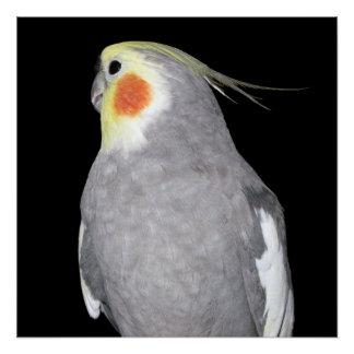 Pet Bird Cockatiel Photo Poster