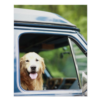 Pet dog sitting in a car poster