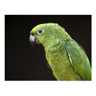 Pet parrot Macushi people Yupukari village Postcard