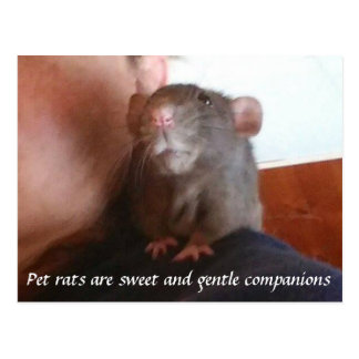 Pet Rats Are Sweet And Gentle Companions Post Card