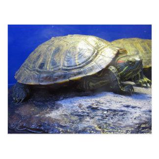 Pet Store Turtle Postcard